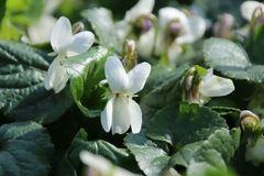 Duft Veilchen 'Miracle Bride White'