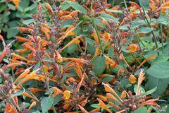 Duftnessel 'Apricot Sprite'