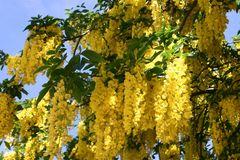 Edelgoldregen 'Vossii'