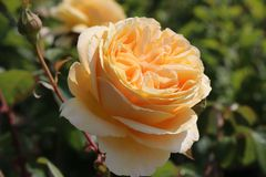 Edelrose 'Candlelight' ®