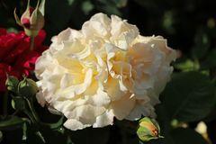 Edelrose 'Comtessa'