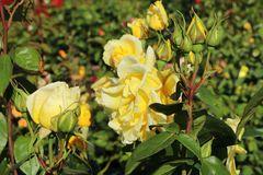 Edelrose 'Duftgold' ®