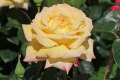 Edelrose 'Gloria Dei' / 'Peace'
