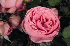 Edelrose 'Happy Piano' ®
