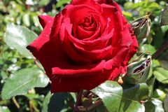Edelrose 'Ingrid Bergmann' ®