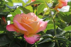 Edelrose 'Inspiration'  ®       ADR-Rose