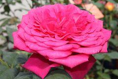 Edelrose 'Johann Wolfgang von Goethe Rose' ®