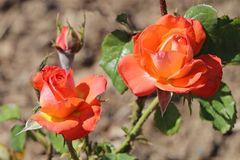 Edelrose 'Königin der Rosen' ®