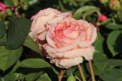 Edelrose 'Lady Capri'