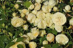 Edelrose 'Lemon Rokoko' ® / Noblesse ® Spray-Rose