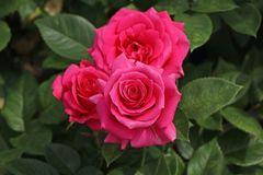 Edelrose 'Love Letter' ®