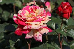 Edelrose Nirparfum Rose 'Broceliande'