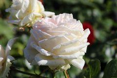 Edelrose Parfuma ® 'Madame Anisette' ®