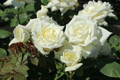 Edelrose 'Polarstern' ®