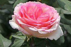 Edelrose 'Souvenir de Baden-Baden' ®