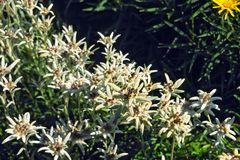 Edelweiß 'Alpine White'