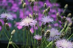 Einfache Kissen-Flockenblume