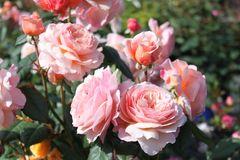 Englische Rose 'A Shropshire Lad' ®