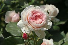 Englische Rose 'Geoff Hamilton'