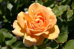 Englische Rose 'Golden Celebration'