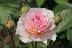 Englische Rose 'James Galway'