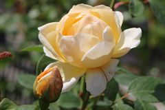 Englische Rose 'Jude The Obscure' ®