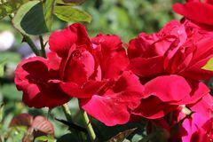 Englische Rose 'L.D. Braithwaite' ®