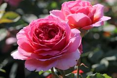 Englische Rose 'Mary Rose' �
