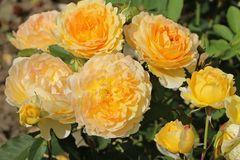 Englische Rose 'Molineux' ®