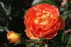 Englische Rose 'Pat Austin' ®