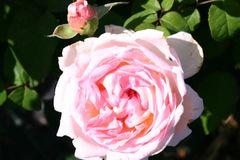 Englische Rose 'Sharifa Asma' ®