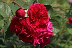 Englische Rose 'Tess of the d'Urbervilles'