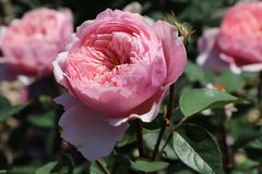 Englische Rose 'The Alnwick ® Rose'