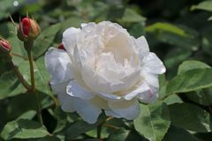 Englische Rose 'Winchester Cathedral' �