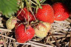 Erdbeere 'Senga ® Sengana ®'