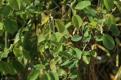 Erlenblättrige Felsenbirne Greatberry ® 'Fruity'