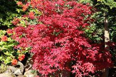 Japanischer Fächerahorn / Korallen-Ahorn 'Corallinum'