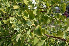 Zwerg-Fächerblattbaum 'Tit'