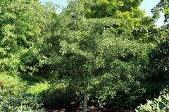 Fächerblattbaum 'Tubifolia'