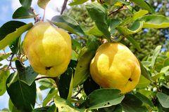Familienbaum Quitte '2 verschiedene Sorten'