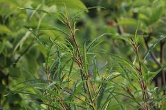 Farnblättriger Faulbaum 'Asplenifolia'