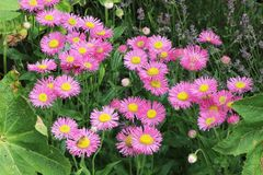 Feinstrahl 'Pink Jewel'