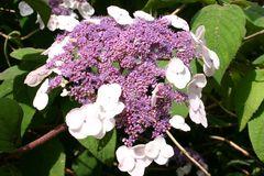 Fellhortensie / Samthortensie 'Macrophylla'