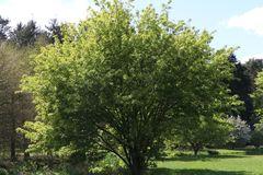 Feuerahorn