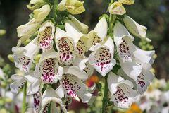 Fingerhut 'Dalmatian White'