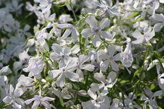 Flammenblume 'White Perfume'