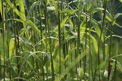Flaschenbürsten Gras