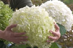 Freiland-Hortensie Proven Winners ® 'Incrediball' ® / 'Strong Annabelle' ®