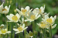 Frühsommer-Windröschen 'Annabella White'