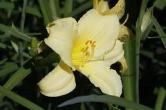 Garten Taglilie 'Green Flutter'